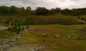 Dried up pond -bulrushes