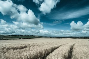 fields-white-harvest