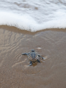 Turtle on beach 2